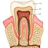ساختار ریشه دندان